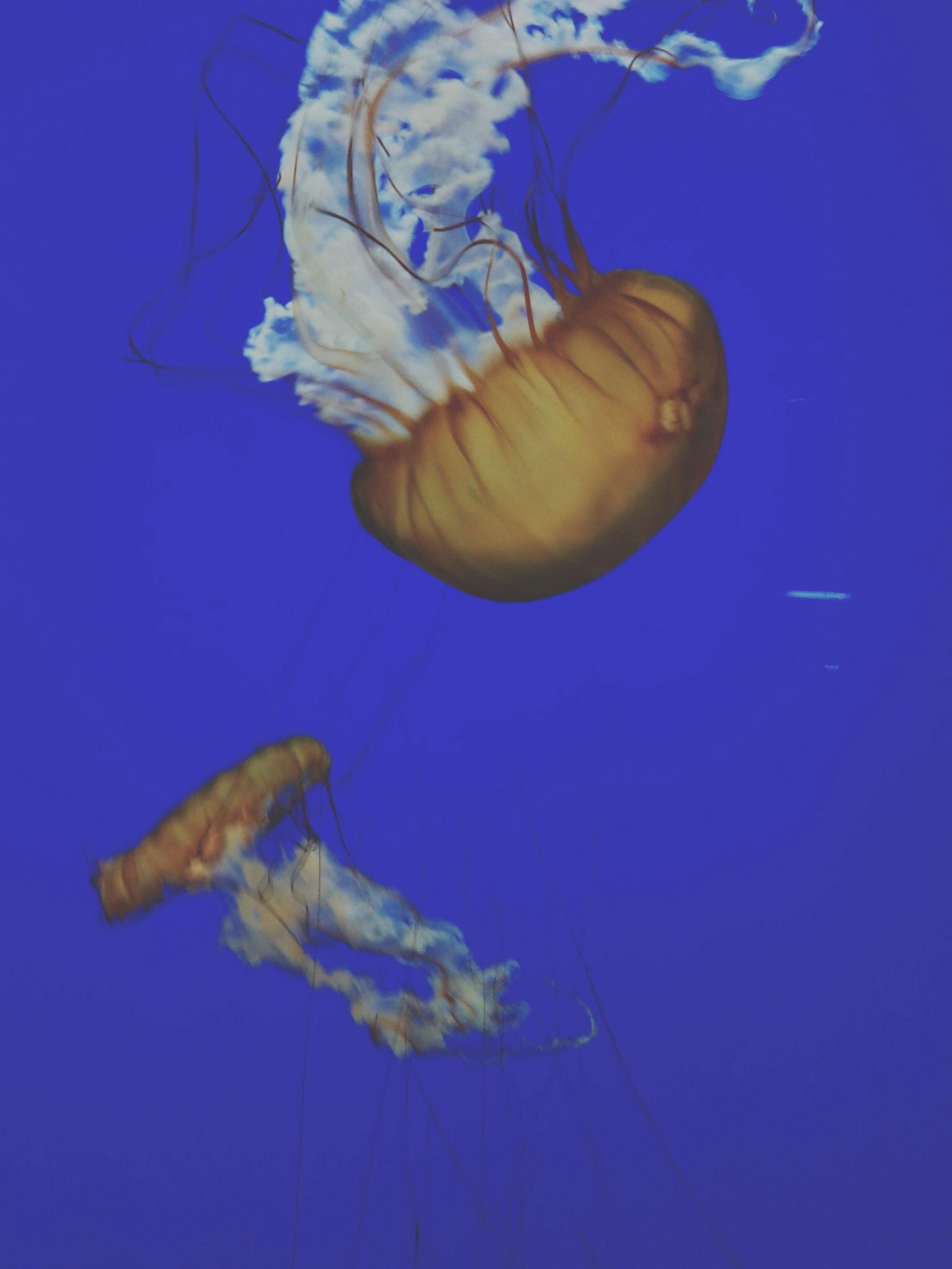 underwater, animal themes, sea life, undersea, animals in the wild, swimming, wildlife, blue, fish, one animal, aquarium, indoors, jellyfish, water, sea, full length, animals in captivity, two animals, close-up, nature