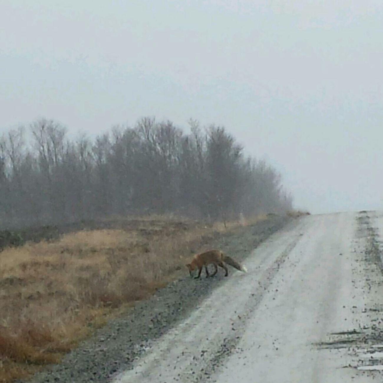 Fox On The Road Animal Curious