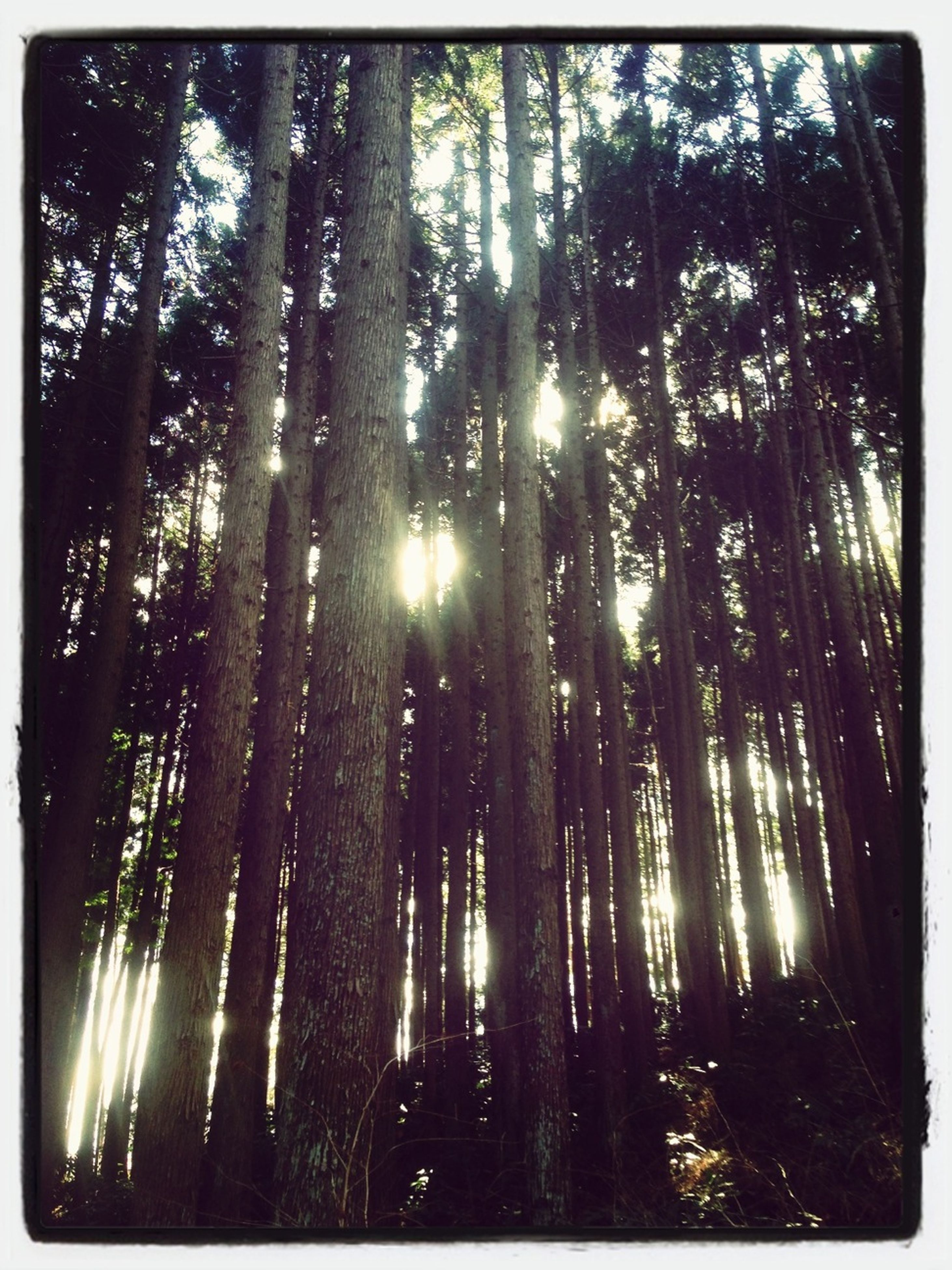tree, transfer print, sun, forest, sunbeam, tranquility, tree trunk, sunlight, growth, auto post production filter, nature, woodland, low angle view, lens flare, tranquil scene, beauty in nature, scenics, back lit, silhouette, branch