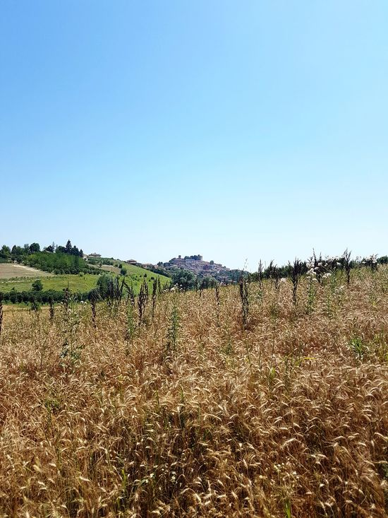 Field Agriculture Rural Scene Sky Growth Crop  Nature Day Outdoors No People Clear Sky Piedmont Italy Beauty In Nature Travel Destinations Langhe Landscape Cereal Crops
