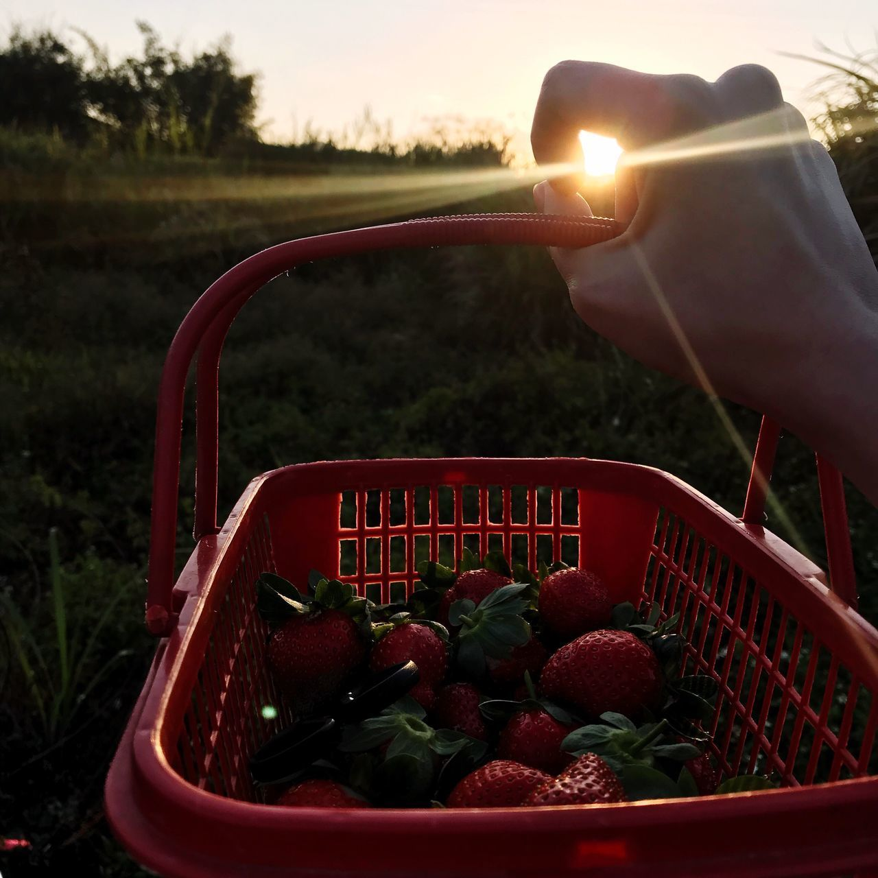 阳光草莓 Strawberry 🍓strawberry Human Hand Food And Drink Red Basket Outdoors Human Body Part Agriculture Food