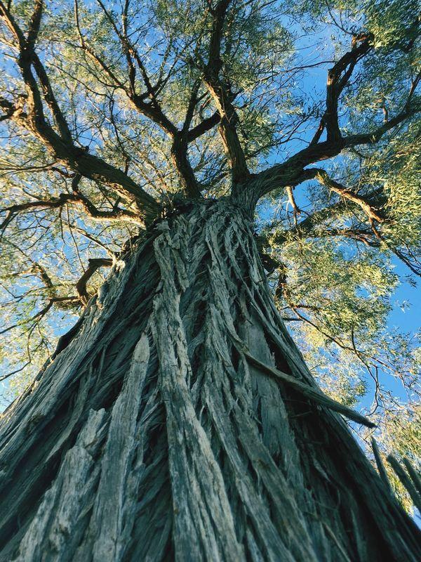 Redwood Tree Tree Upward Skyward Above As Above So Below Tall Redwood Wood Tree_collection  Treetastic Treehugger Hug A Tree