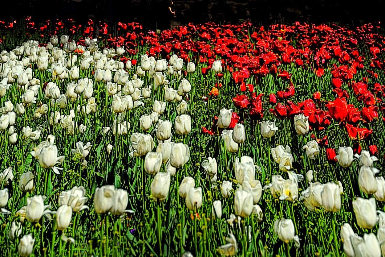 لاله Garden 🌷 Flowers 🌹 Tulips Red Tulips🌷 Iran Nature