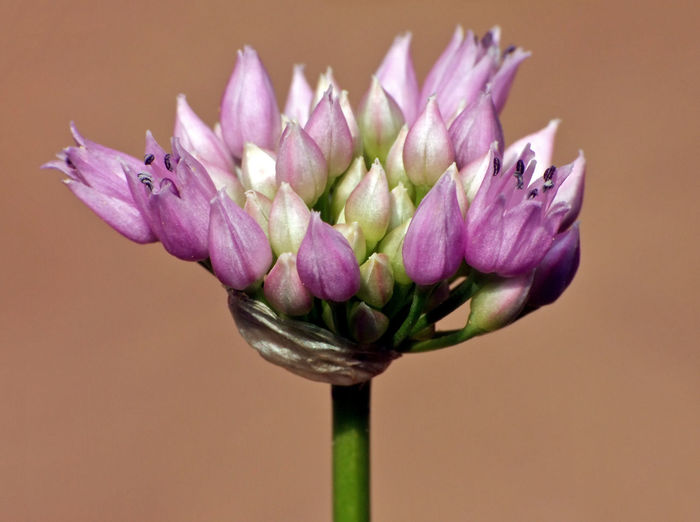 Umbel of Allium angulosum Allium Angulosum Garlic Angle Onion Beauty In Nature Close-up Colored Background Day Edible  Europe Flower Flower Head Fragility Growth Mouse Garlic Nature No People Outdoors Pedicel Perennial Herb Petal Purple Umbellifer