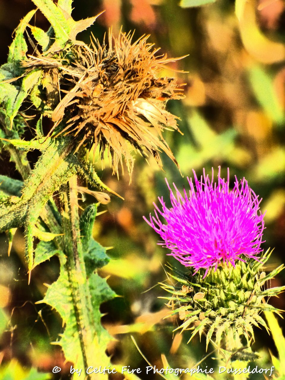 flower, nature, plant, growth, beauty in nature, focus on foreground, close-up, purple, fragility, freshness, no people, flower head, thistle, petal, day, outdoors, animal themes