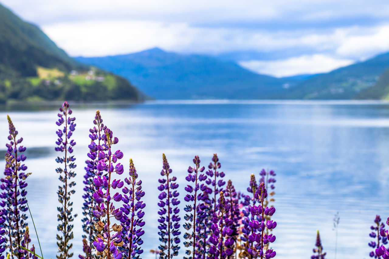 Flowers Norway Lupines Protecting Where We Play The Adventurer - 2015 EyeEm Awards The Great Outdoors - 2015 EyeEm Awards The Traveler - 2015 EyeEm Awards EyeEm Nature Lover Landscapes With WhiteWall