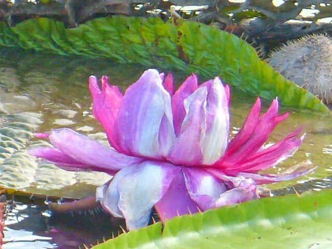 Flor Vitoria Regia Itacoatiara Amazonas