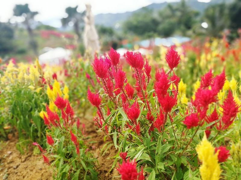 Sirao Siraoflowerfarm Cebu Flower Red Plant Nature Growth Freshness Close-up Focus On Foreground Outdoors Summer Flower Head No People Agriculture Day Beauty In Nature Poppy Eye4photography  Photooftheday