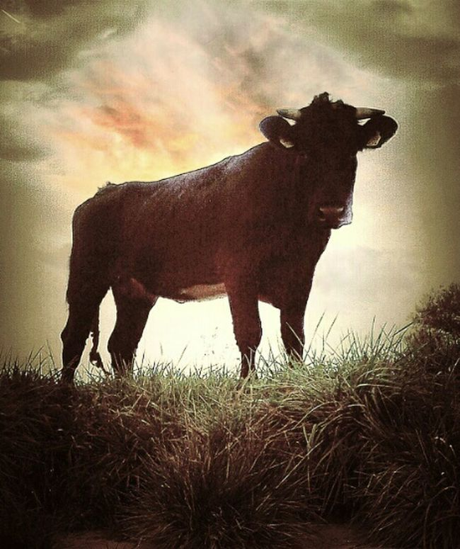 Check This Out Taurus ♉ That's Me! Picturing Individuality Black Bull RePicture Masculinity