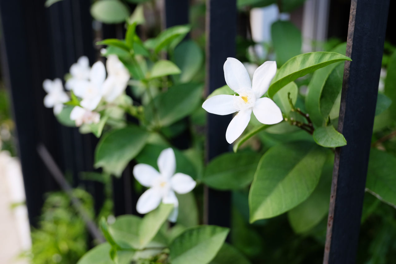 white color, flower, petal, beauty in nature, growth, nature, plant, freshness, fragility, day, blooming, flower head, no people, leaf, periwinkle, close-up, outdoors, frangipani