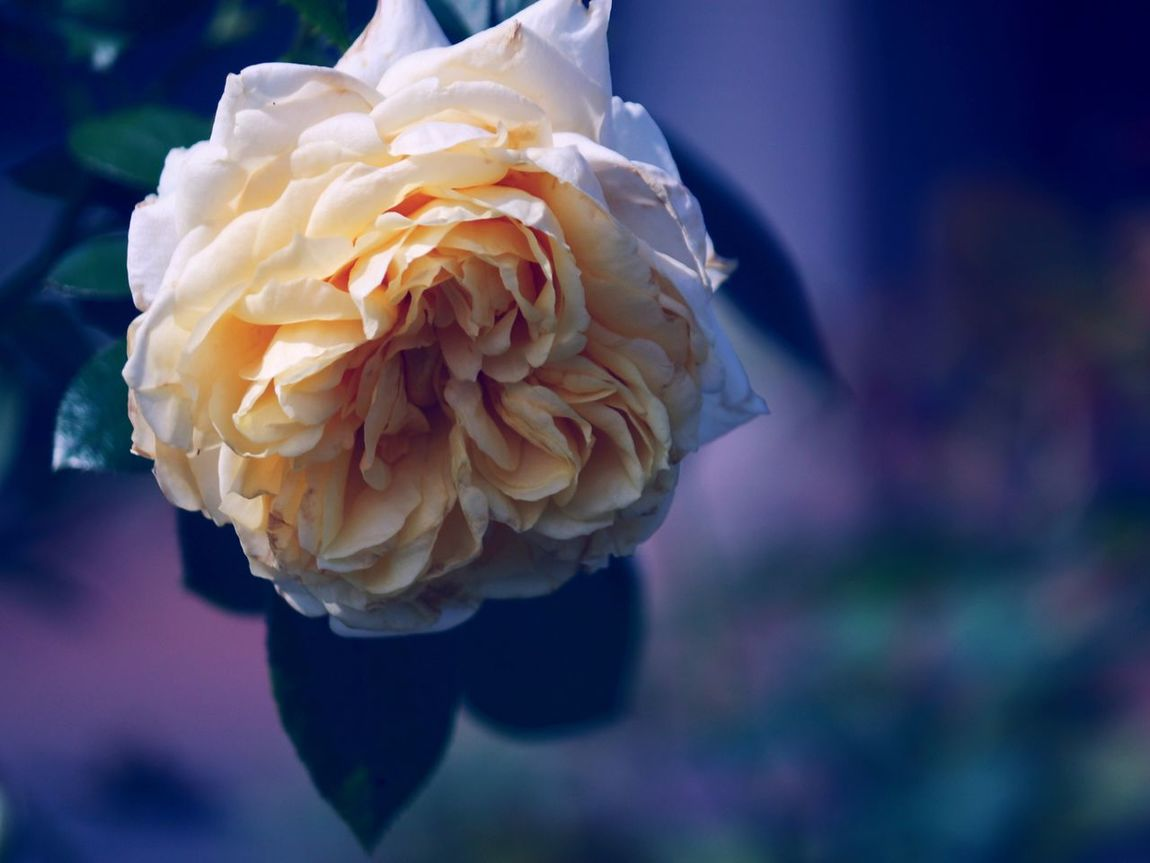 rose Flower Petal Fragility Flower Head Beauty In Nature Nature Freshness Focus On Foreground Close-up No People Outdoors Rose - Flower Day Blooming バラ園 薔薇 バラ Rosé Beauty Freshness White Roses Whiteflower