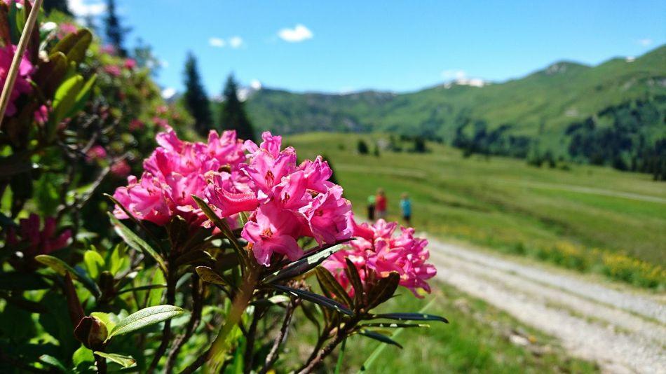 Beautiful Nature Alpine Flower Alpenrose at Betelberg Luchstrail Lenk Simmental Switzerland The Great Outdoors - 2017 EyeEm Awards
