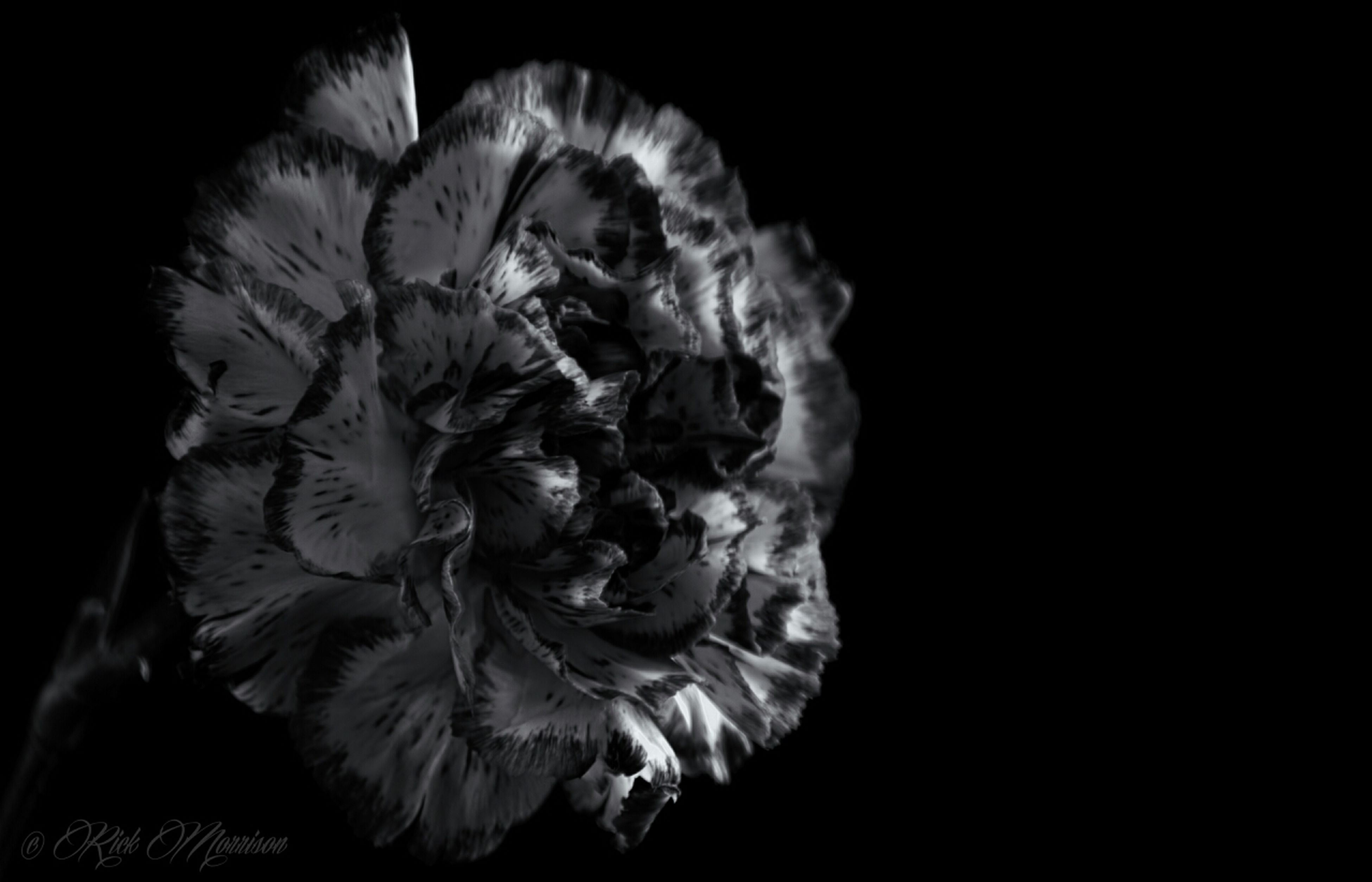 black background, studio shot, flower, copy space, petal, close-up, night, fragility, flower head, cut out, freshness, beauty in nature, nature, dark, no people, single flower, rose - flower, indoors, natural pattern, single object