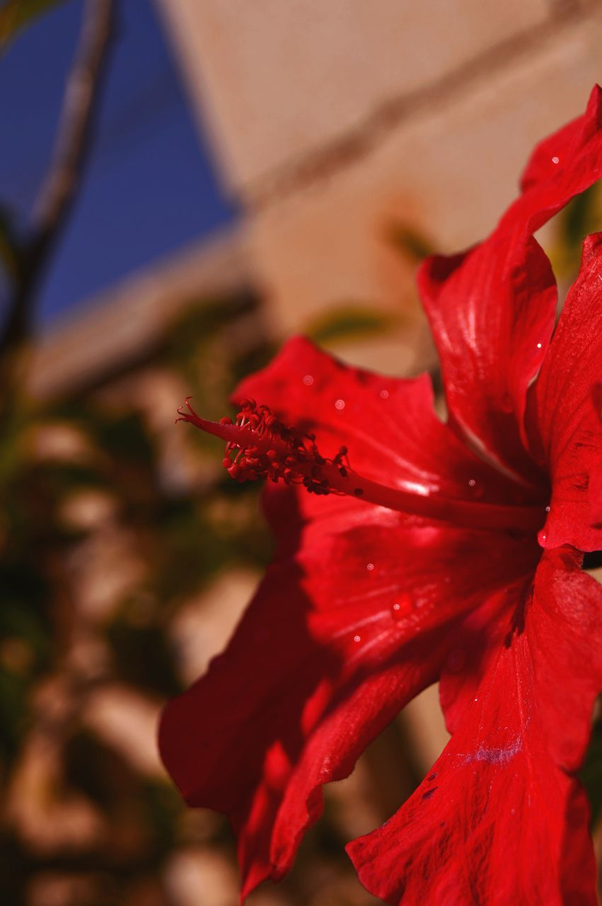red, flower, petal, beauty in nature, nature, growth, fragility, flower head, no people, close-up, freshness, selective focus, outdoors, day, plant, water, hibiscus