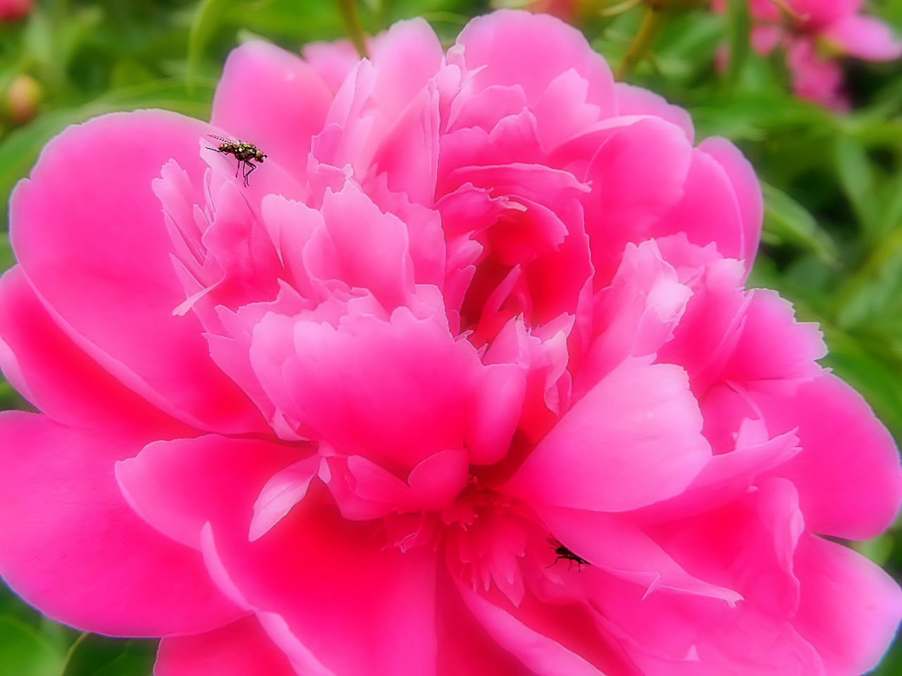 flower, pink color, one animal, insect, petal, animal themes, animals in the wild, nature, beauty in nature, close-up, no people, fragility, day, outdoors, animal wildlife, focus on foreground, plant, flower head, growth, freshness, blooming