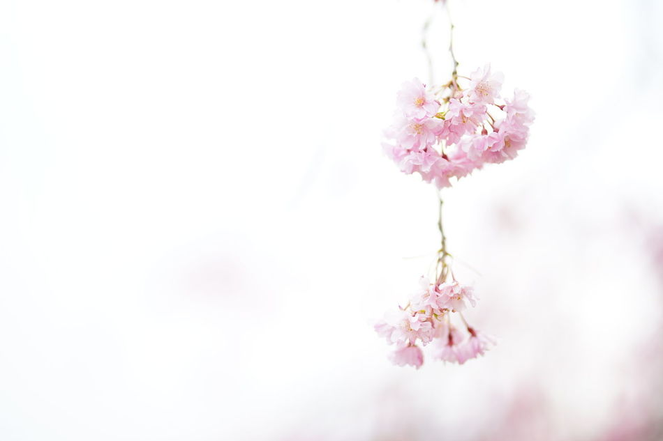 Capture The Moment Sakura Petals🌸 Minimalism Fantasy Fragility Pink Color Blossom Pastel Colored Springtime Uzuki Of The Flower Depth Of Field Beauty In Nature Selective Focus Fine Art Tranquility White Background Snapshots Of Life Nature Still Life Full Frame Detail Sigma EyeEm Best Shots 17_04 Art Is Everywhere EyeEmNewHere EyeEm Diversity