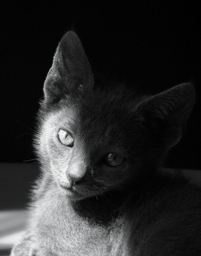 Leafy did eventually grow into those ears. Leafy The Cat Cat Photography Cat Lovers Cats Of EyeEm Cat Eyes Cat Watching Cat In The Shadows Cat Portrait Young Cat Cat Lover Cat Looking At The Camera Cat In The Light Cat In The Shadows Robin Fifield - Cats. Light And Shadow Shades Of Grey B&W Portrait B&W Collection B&w Cat Photography B&W Collective