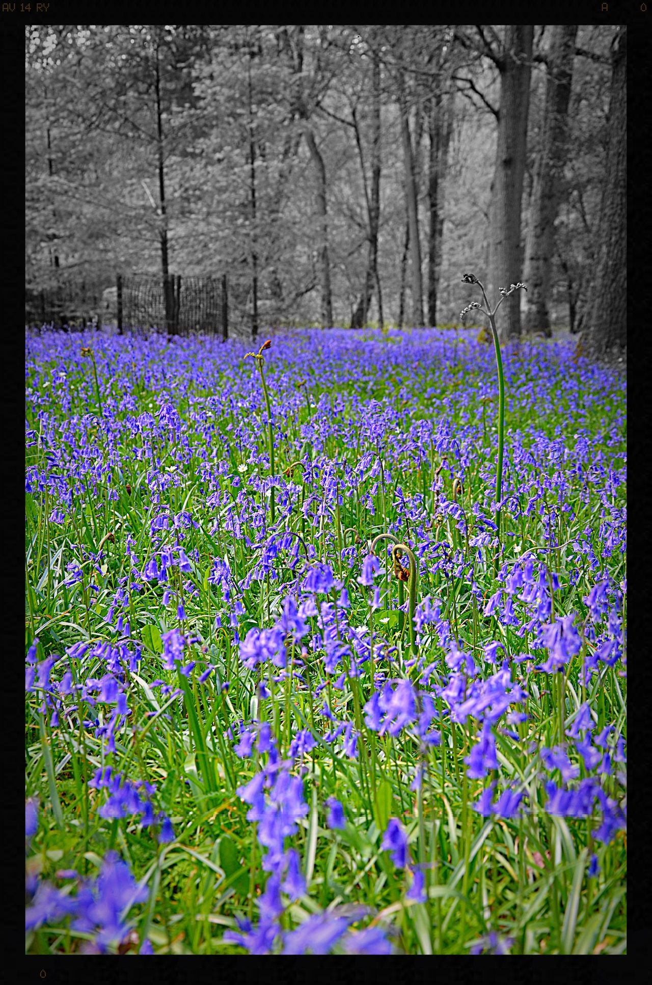 Beauty In Nature Blue Bluebell Wood Bluebells Flower Flowers Flowers, Nature And Beauty Flowers,Plants & Garden Fragility Nature No People Outdoors Purple