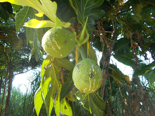 breadfruit hanging on the tree Agriculture Artocarpus Breadfruit Breadfruit Tree Day Food Food And Drink Freshness Fruit Green Color Healthy Eating Healthy Food Healthy Fruit Leaf Nature No People Outdoors Tree Tropical Food Tropical Fruit