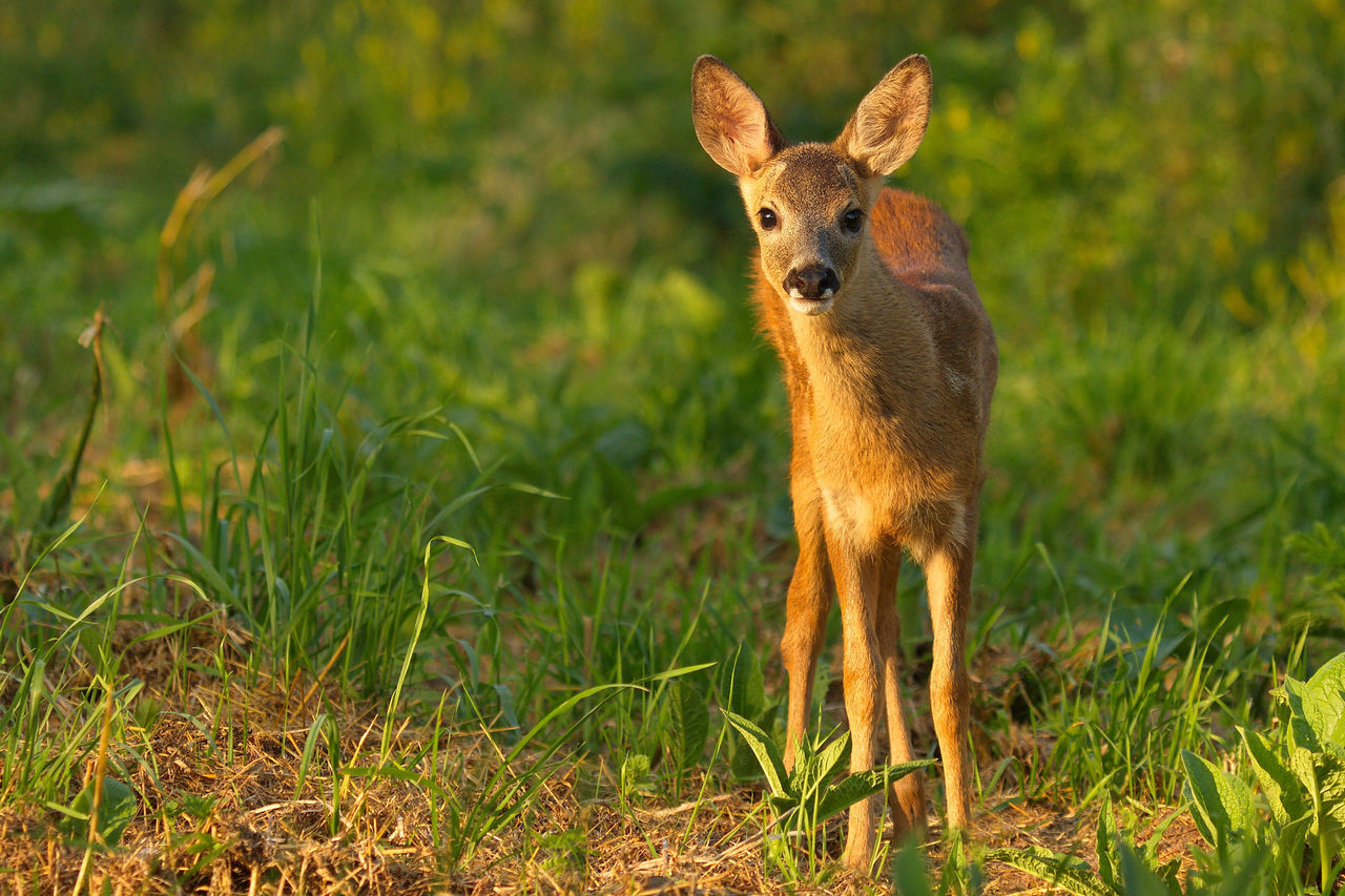 Animal Themes Beauty In Nature Biesbosch Golden Hour Ree Reekalf Roe Deer Roe Deer Cub Wildlife & Nature Wildlife Photography