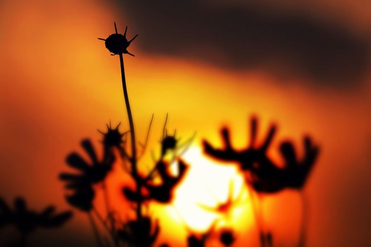 Sunset Silhouette Plant Orange Color Growth Close-up Beauty In Nature Nature Focus On Foreground Scenics Tranquility Selective Focus Back Lit Majestic Uncultivated Sky Romantic Sky Tranquil Scene Dramatic Sky Outline