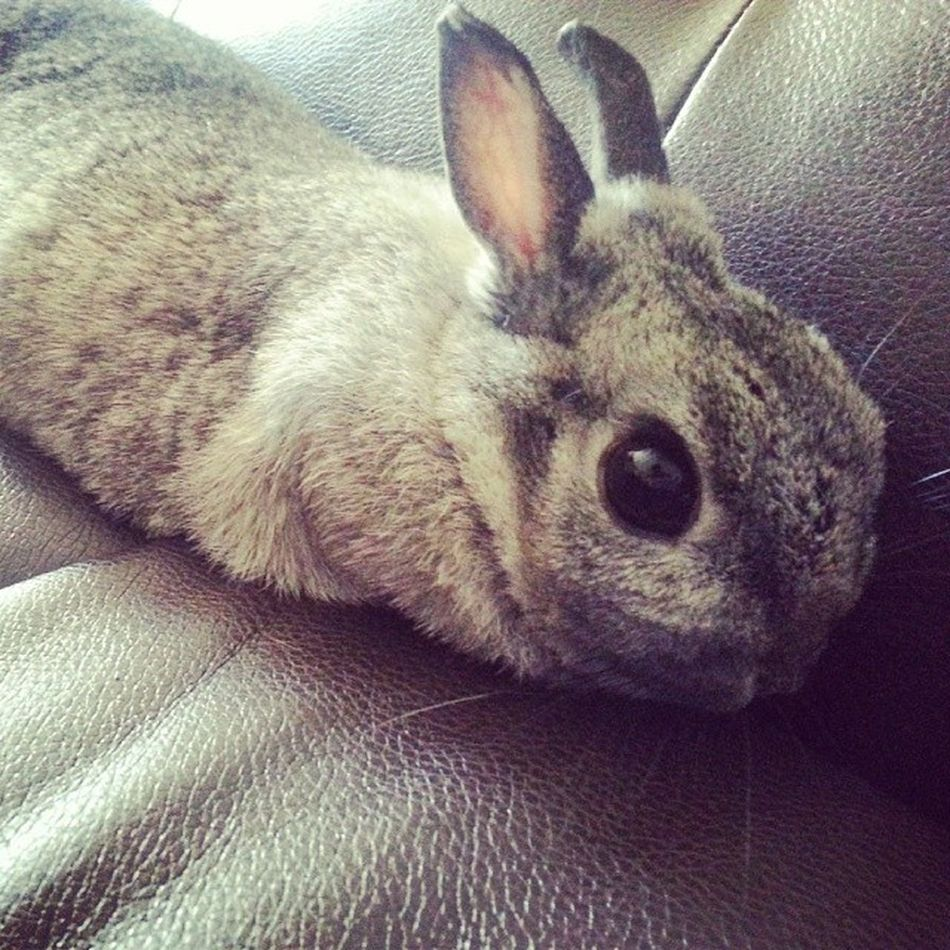 My rabbit's arms disappear when she lies down. Bunny  Rabbit Aseriouslackofarms