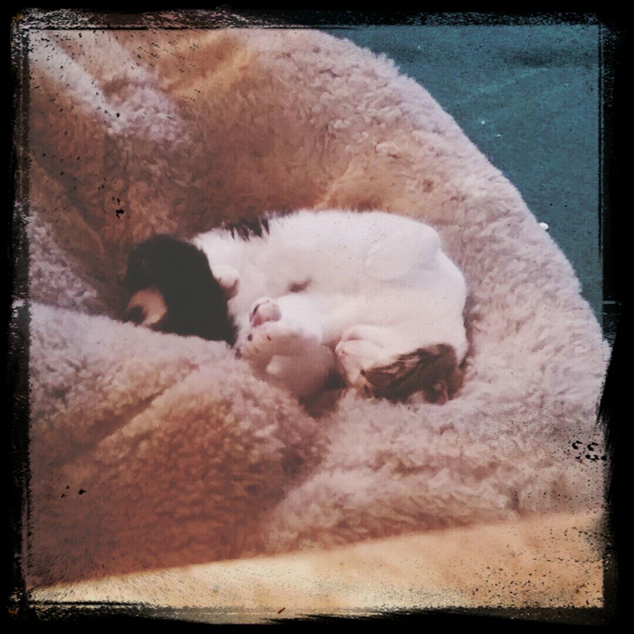 Isaac MyBabyBoy Cutecat HalfTabbyhalfmoggy Sleepingcat