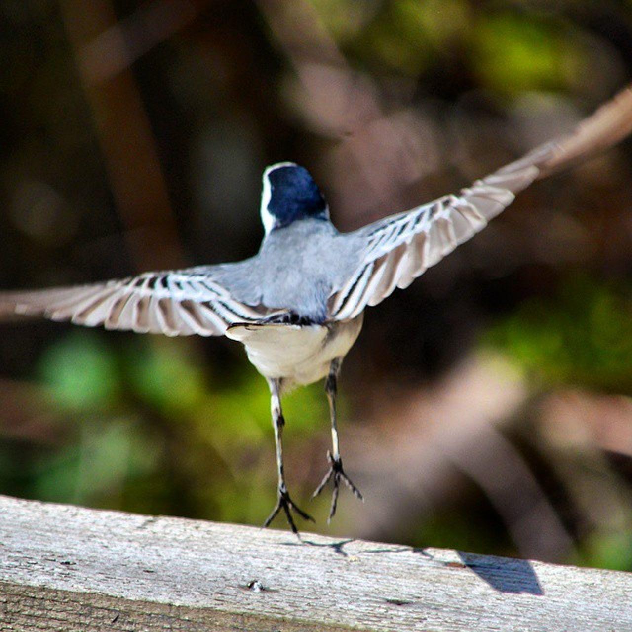 Taking off! Bird Birdflying Birdfreaks Instabird Flyingbird Instabirds Nature_perfection Nature Naturelovers