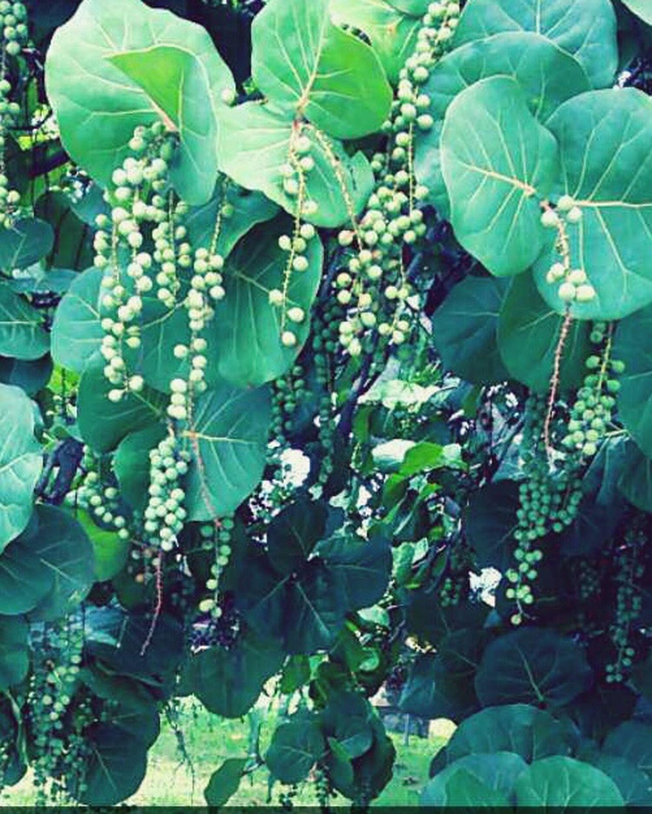 Seagrapetree Friut Tea Purplewhenripe