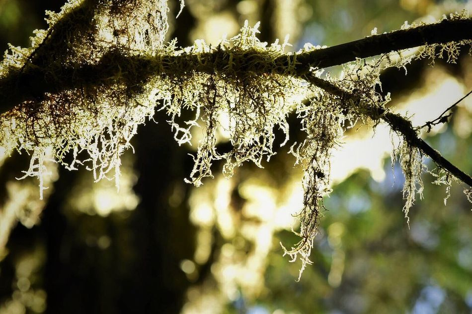 Focus On Foreground Close-up Day Nature No People Outdoors Branch Beauty In Nature Fragility Tree Nature_collection Nature Photography Forest Photography Photography Themes Tranquility Beauty In Nature Nature Forest Moss Moss & Lichen Mossy Tree