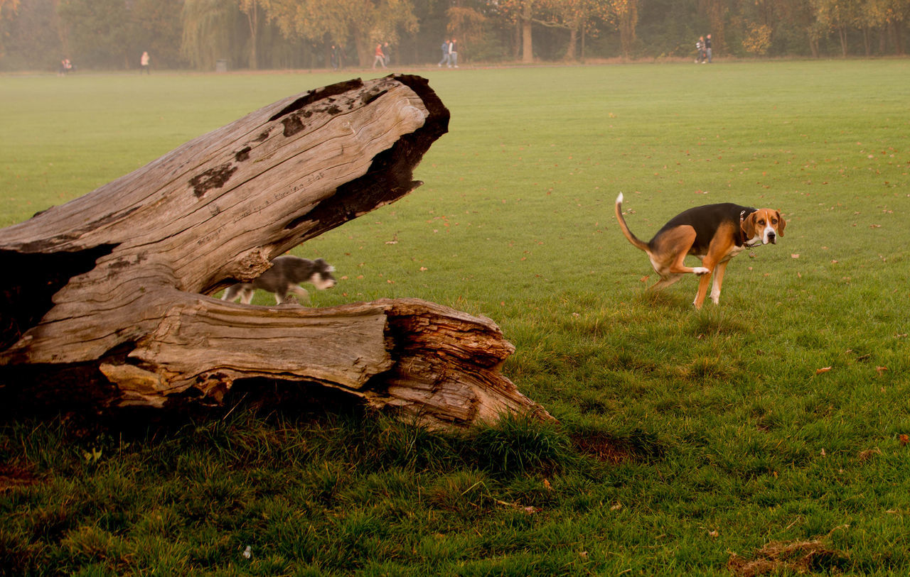Beagle Dead Tree Dog Dog Poo Field Funny Nature Outdoors Caught Off Guard Caught In The Act
