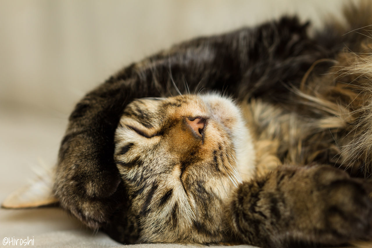 mammal, animal themes, domestic cat, one animal, relaxation, indoors, no people, feline, close-up, domestic animals, pets, day