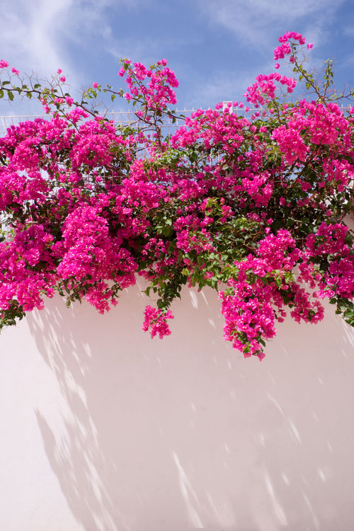 Bougainvillea Glabra Flowers,Plants & Garden Shadow And Light Beauty In Nature Bougainvillea Bougainvillea Flower Bougainvillea Red Flower Bougainvilleas Close-up Day Flora Flower Flowers Fragility Freshness Growth Mediterranean Flowers Nature No People Outdoors Pink Pink Color Plant Sky Tree