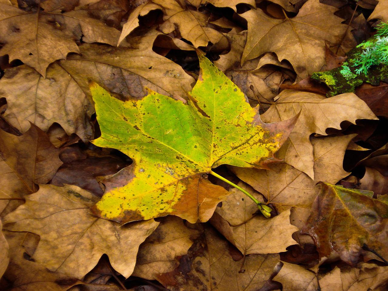 Fallen Green Maple Leaf Among Dry Leaves