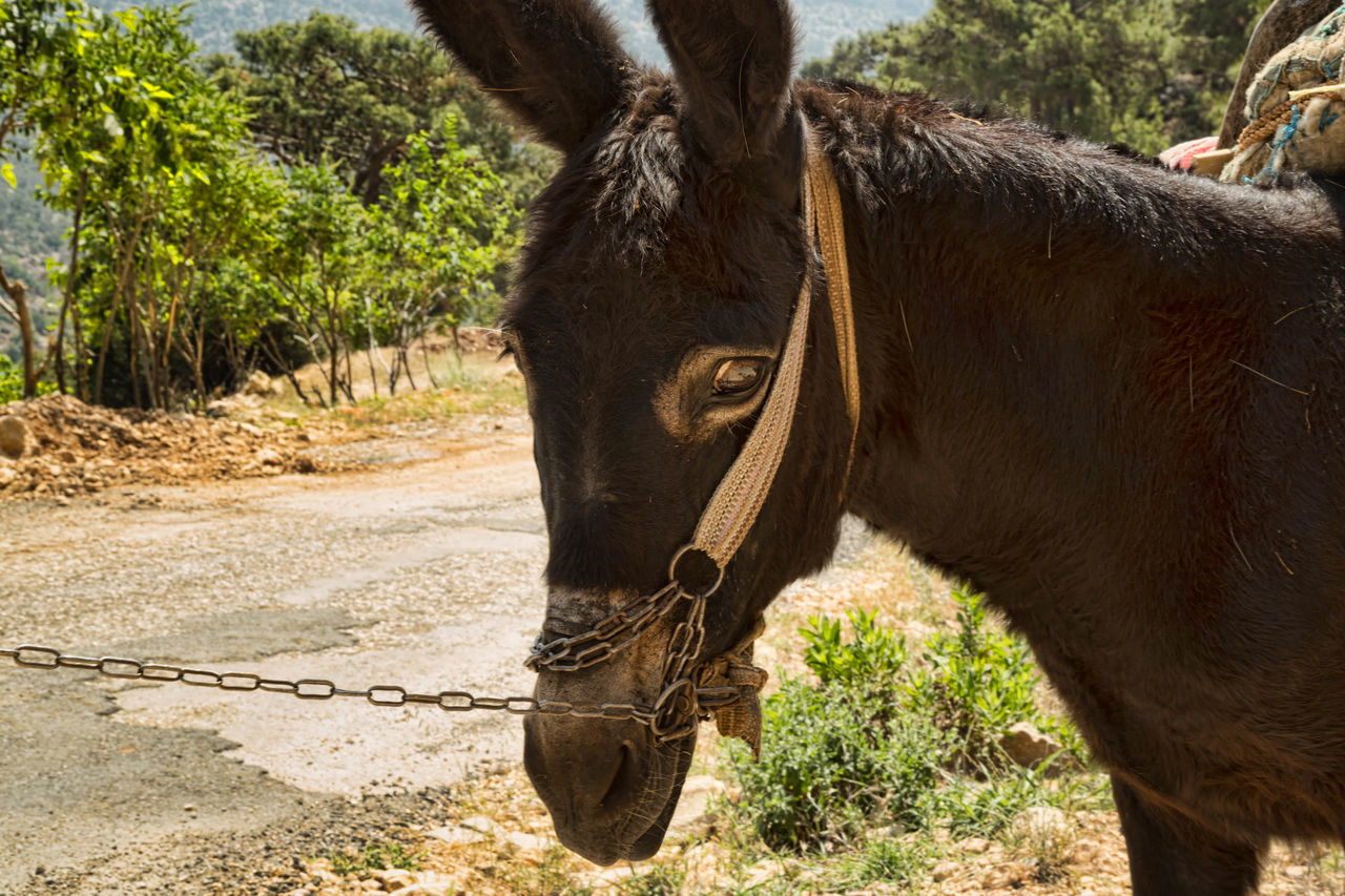 Mule Animal, Beast, Big, Brown, Closeup, Countryside, Curiosity, Curious, Cute, Domestic, Donkey, Ear, Face, Farm, Field, Fun, Funny, Fur, Grass, Green, Grey, Hair, Head, Holiday, Horse, Housing, Landscape, Laugh, Lips, Livestock, Looking, Mammal, Meadow, Moun Day Donkey Grass Mammal Mules Nature Outdoors Strapped