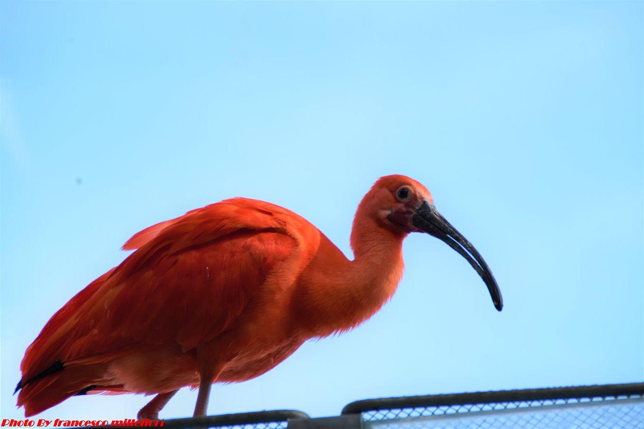 BIRD Red Ibis Animal Wildlife Street Photography Animal Themes Beauty In Nature