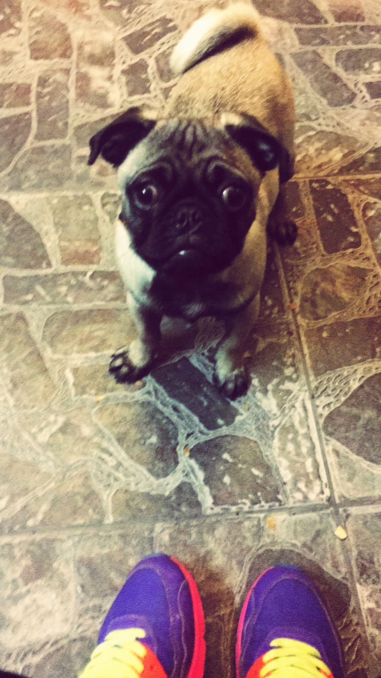 Soda 🐶 Pets Domestic Animals One Animal Disfrutando De La Vida Pug Pug Life  Pug Love