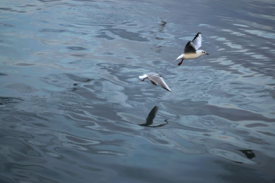 Bird Animal Themes Animals In The Wild Animal Wildlife Water Nature Flying Spread Wings No People Sea Beauty In Nature Outdoors Sea Life Day Capture The Moment Sony A6000 Helios 44m-6 Antique Seagull EyeEm Gallery Seaside Reflection
