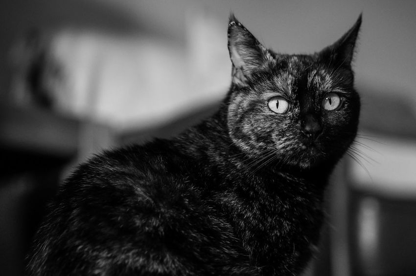 Hally The Naughty Tortie Cat Cats Tortoiseshell Blackandwhite