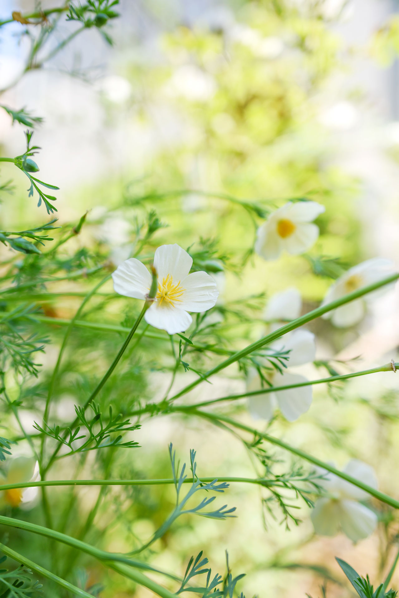 Bokeh Photography EyeEm Gallery EyeEm Nature Lover Flower Collection Flowerporn Light Green Nature Poppies  Reflection Sunshine Taking Pictures