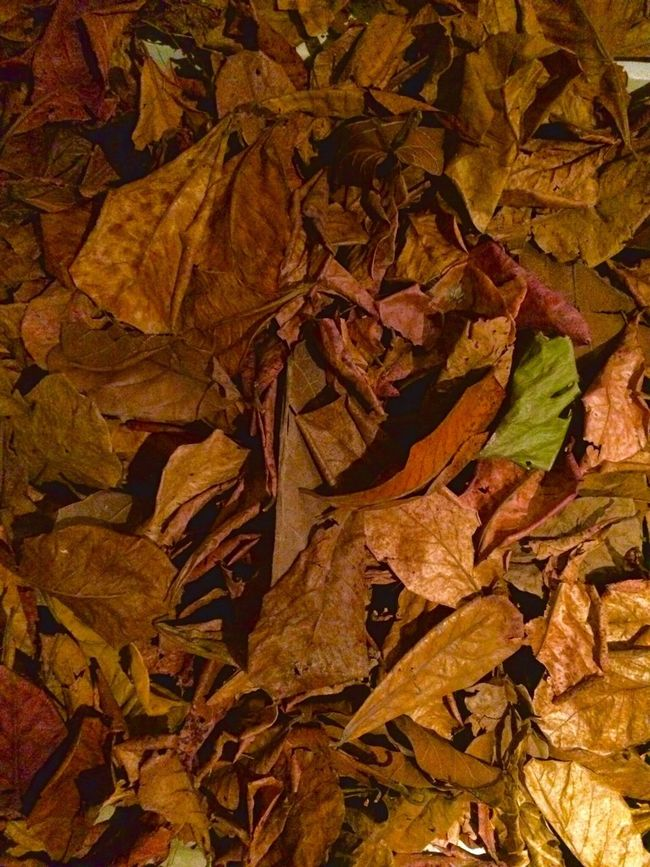 Leaf Autumn Backgrounds Nature Close-up Leaves Natural Condition No People Beauty In Nature Change Fragility Tree Death Dead Plant Death Nature Death And Life Leaf 🍂 Leafs Photography