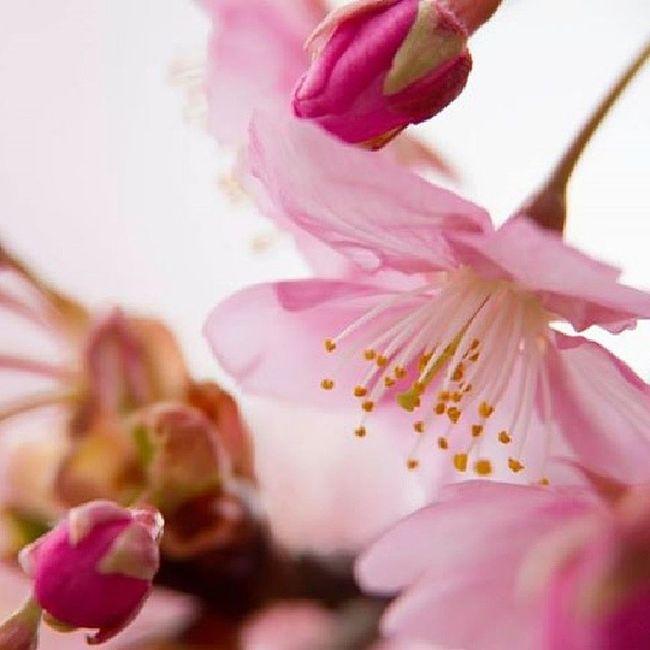 A bit of spring ~ Instagram Instagood Nature Pink Cute Flower Blossom Amazing JapanLife Japan Spring