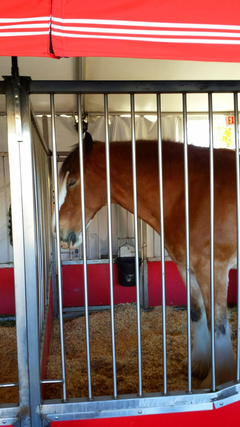 After the Show A Very tired Clydesdale Horse Budweiser Clydesdale Horse One Horse Tired 😴 Sleeping Budweiser Fairfield Ca