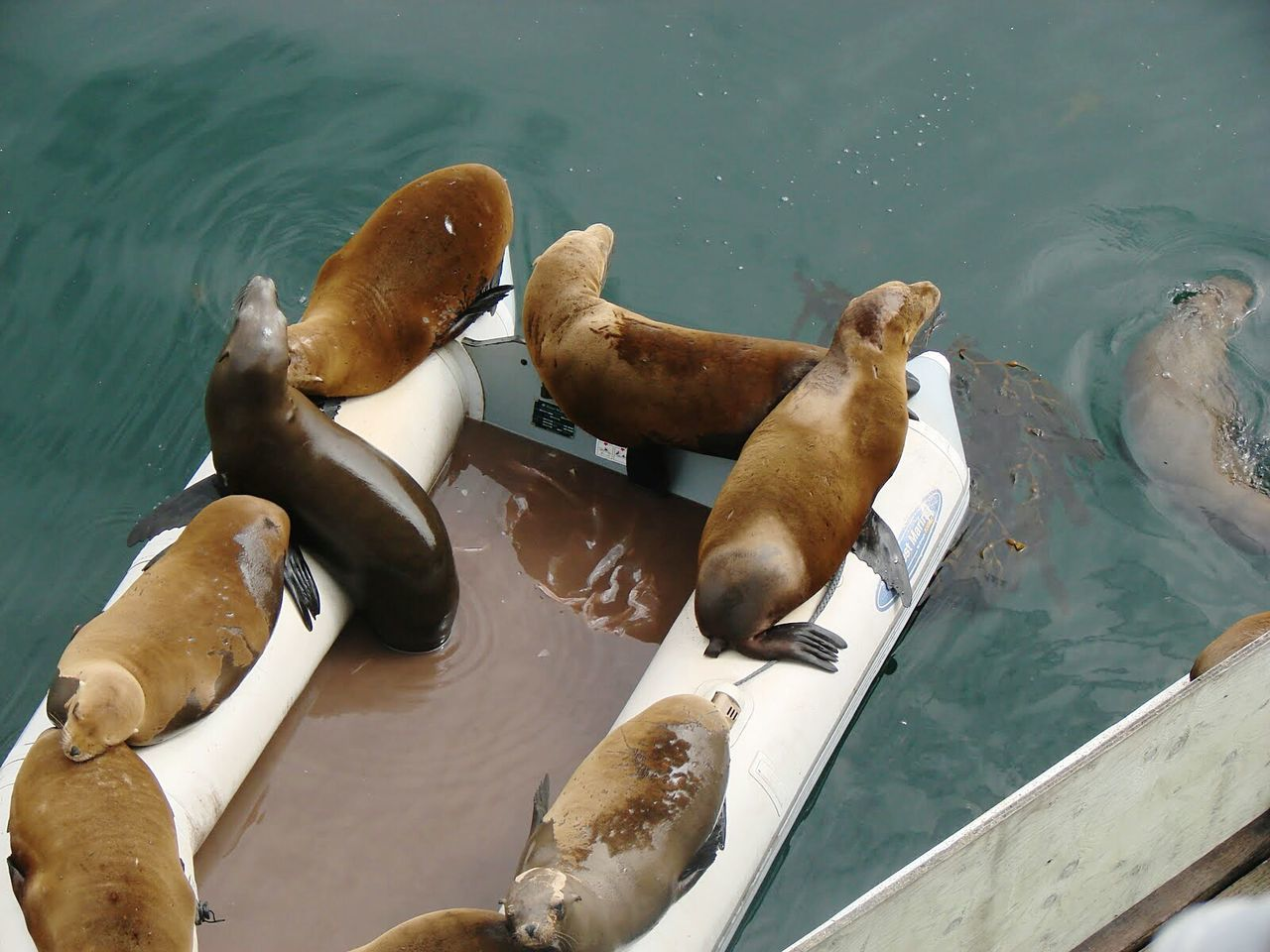 Swimming Outdoors Boat Rubber Boots Seals Seals Chilling Seals On The Dock Sealion  Sealife
