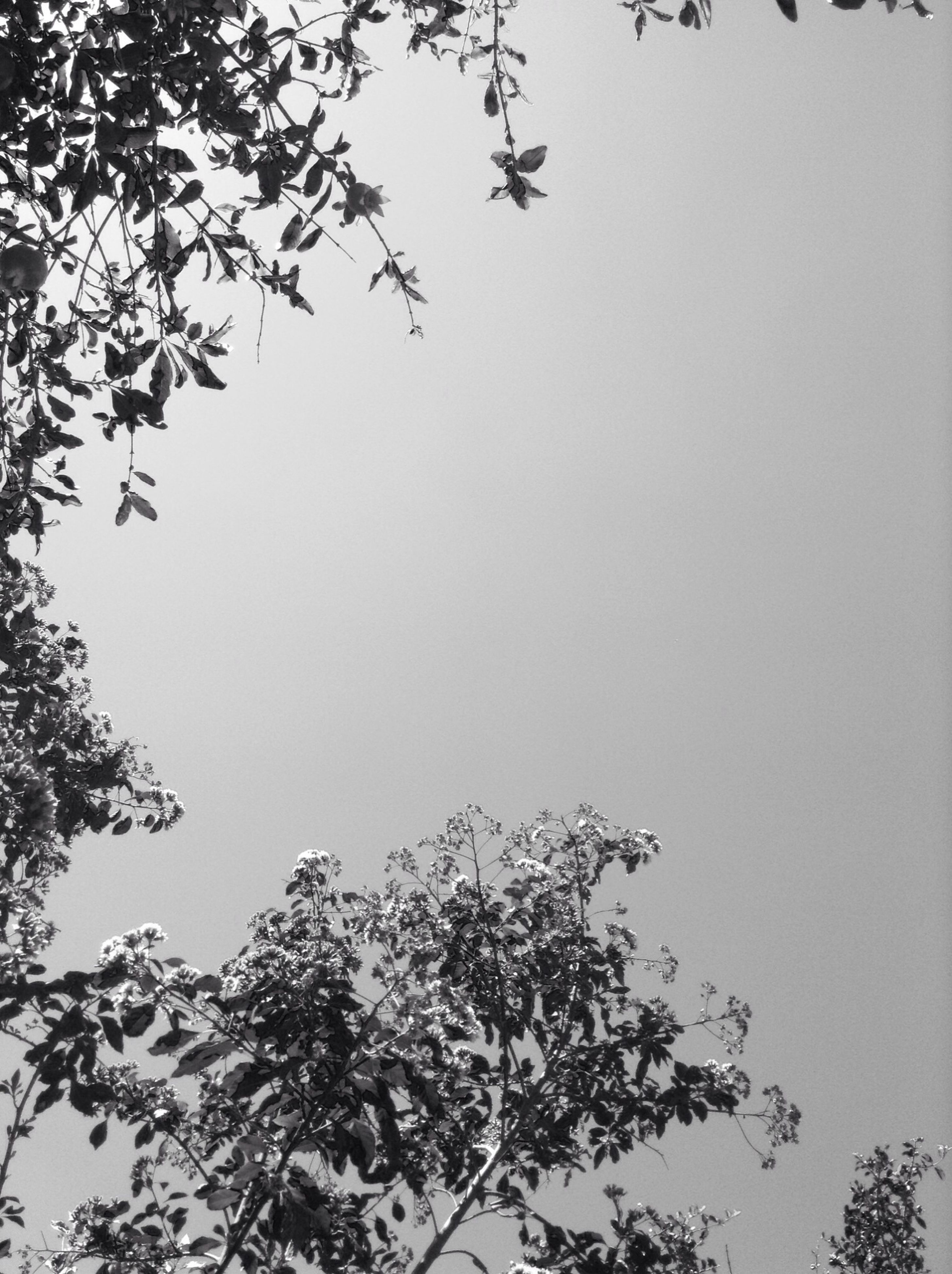 clear sky, tree, branch, low angle view, copy space, nature, growth, beauty in nature, tranquility, bare tree, scenics, day, outdoors, high section, tranquil scene, no people, sky, twig, silhouette, leaf
