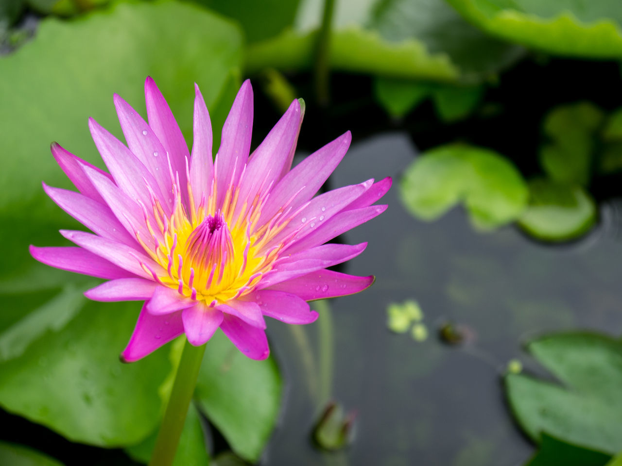 Blooming Purple Lotus in Pond Beauty In Nature Blooming Close-up Day Flower Flower Head Focus On Foreground Fragility Freshness Growth Lotus Love Nature No People Osteospermum Outdoors Petal Pink Color Plant