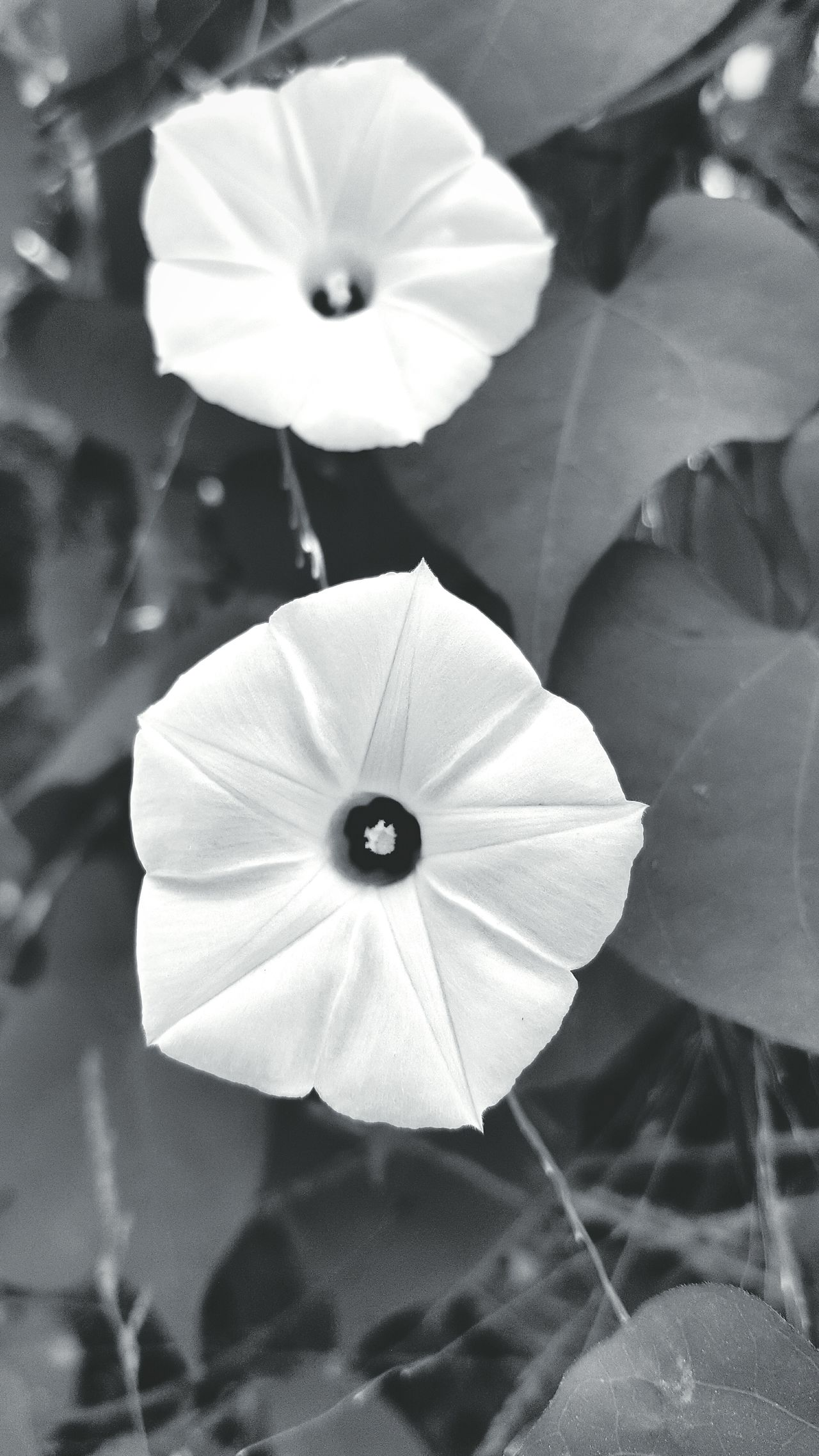 Morning Glory No People Flower Close-up Nature Outdoors Freshness Monochrome Photography Black And White Photography Fresh On Eyeem  Showcase February Personal Perspective Hello World EyeEm Of The Week My Point Of View The Week Of Eyeem Check This Out Nature_collection Nature Of Eyeem EyeEm Natute Lover Beauty In Nature Monochrome Morning Glory White Morning Glory