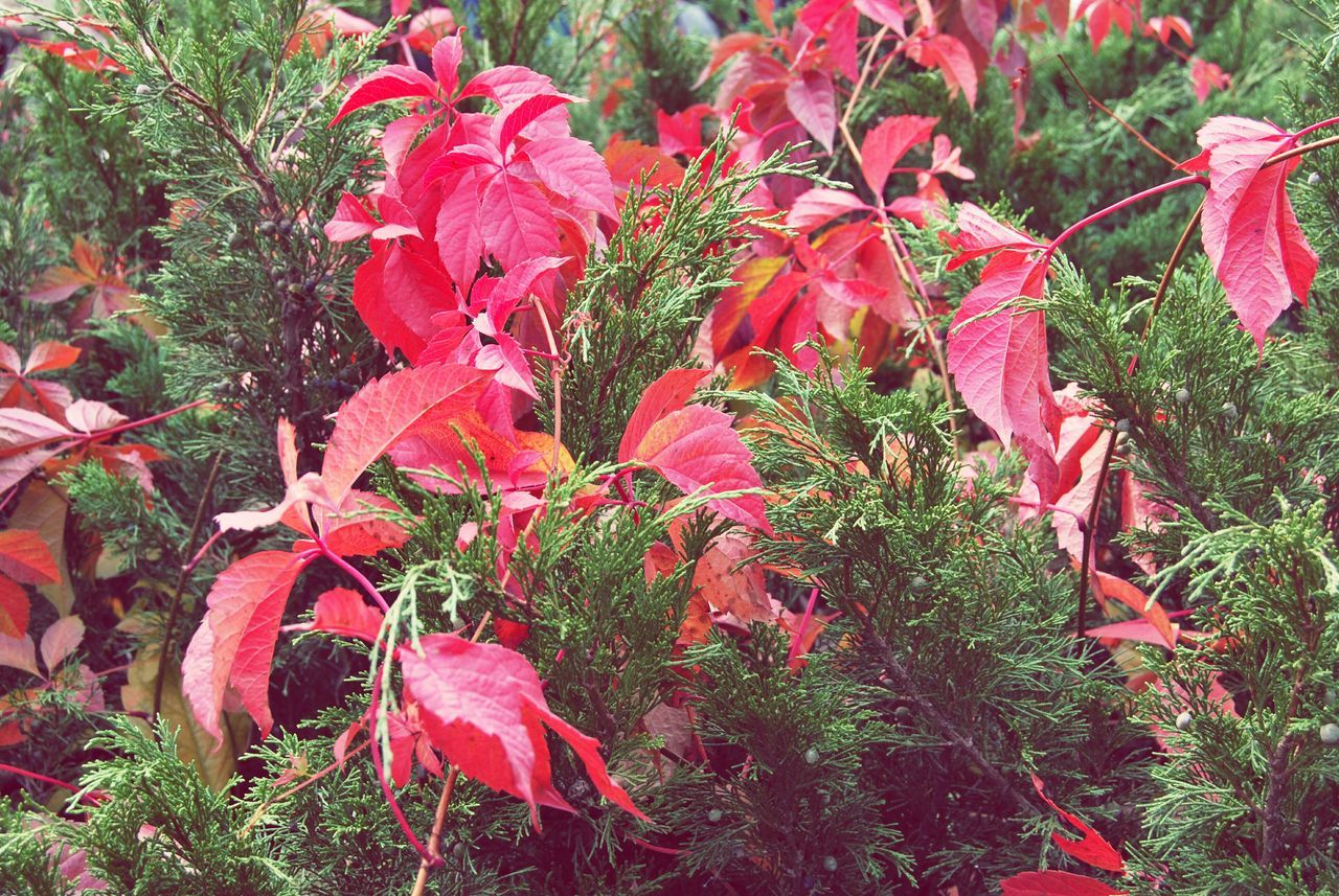 wildgrape Red Leaf Nature No People Beauty In Nature Outdoors Freshness Plant Growth Day Garden Photography Landscape Macro Photography Leaves🌿 Close-up Cityparking