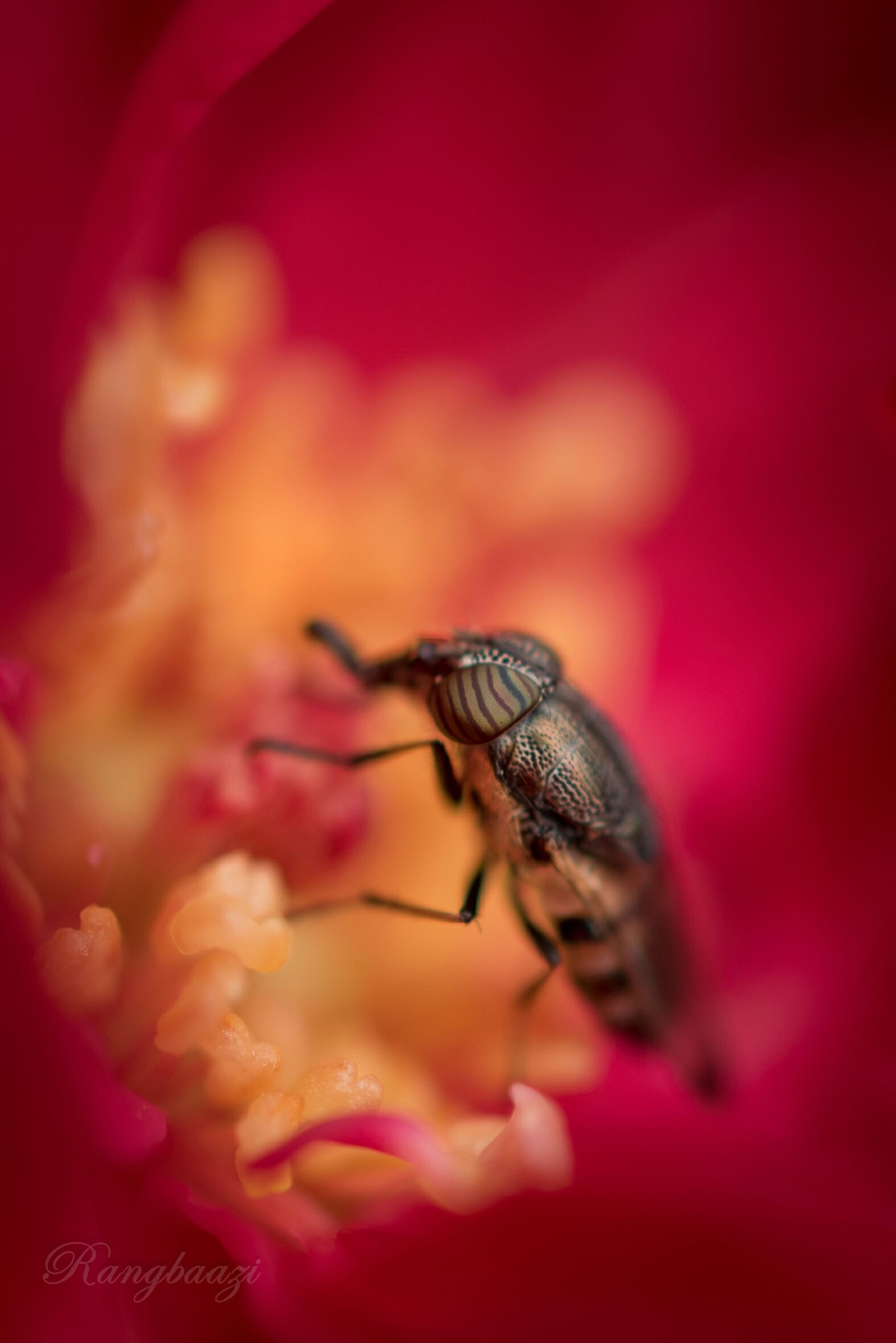 animal themes, one animal, animals in the wild, wildlife, insect, flower, red, close-up, pink color, selective focus, focus on foreground, petal, nature, beauty in nature, freshness, pollination, bee, fragility, outdoors, day
