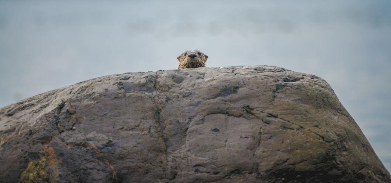 Animal Themes Animal Wildlife Animals In The Wild Close-up Cute Animal Cute Animals Funny Wildlife One Animal Otters Outdoors Peek Peering Peering Over